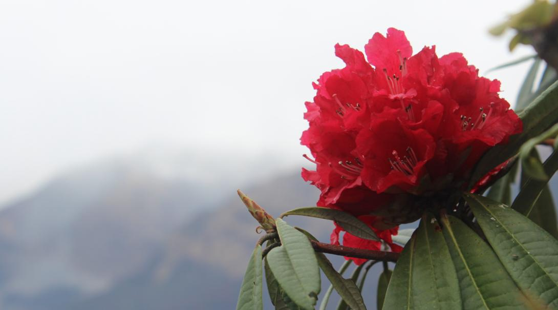 Mountain conservation volunteers in Nepal help with the Rhododendron Regeneration Surveys.
